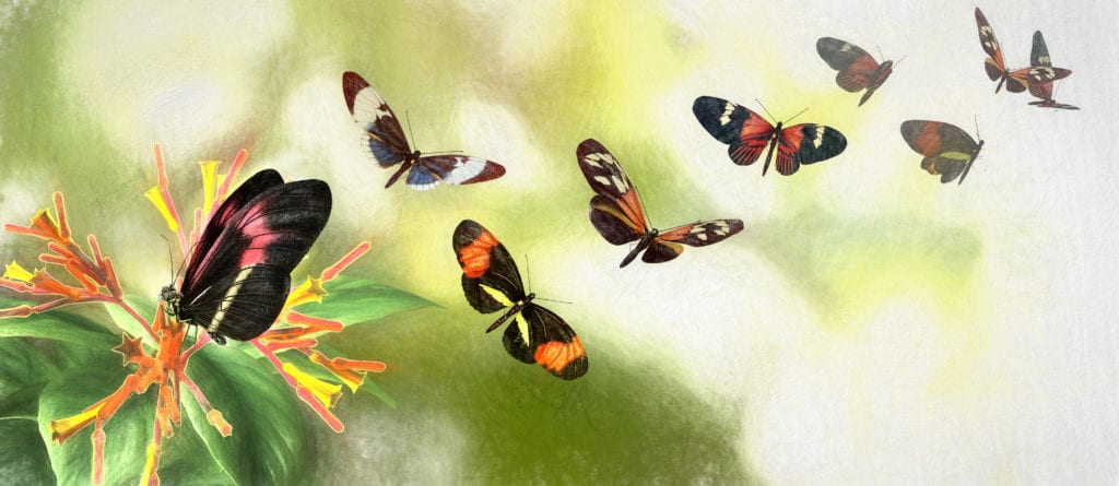 Butterfly Speciation