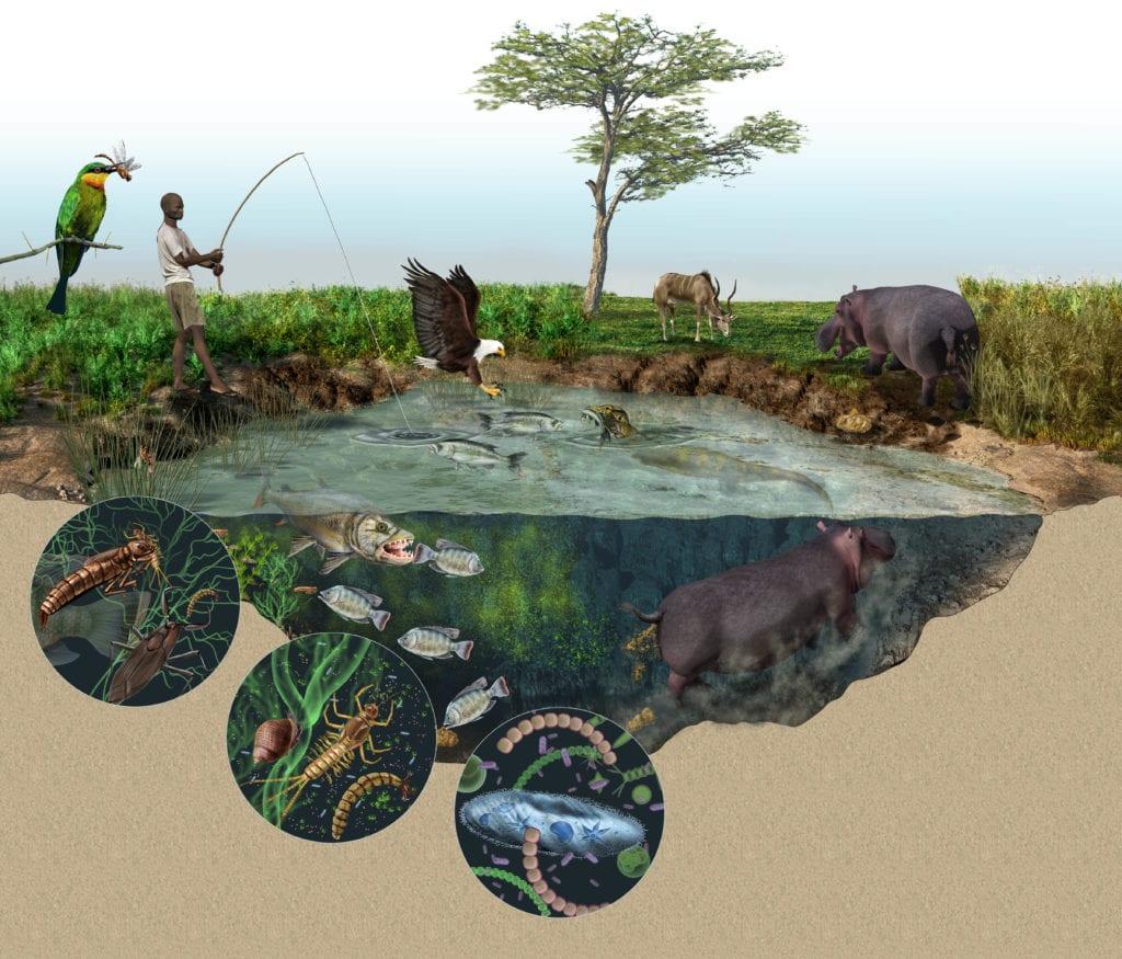 Hippopotamus Ecological Impact