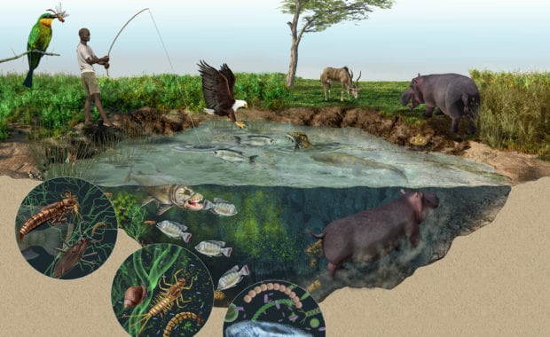 Science magazine illustrated figure showing hippo ecology in East Africa, from microbes, to humans. By SayoStudio
