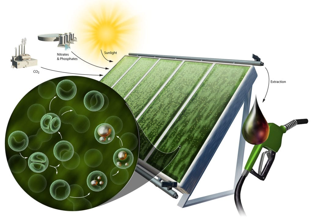 Alternative energy sources are being developed by scientists using algal cells as a biological machine to harness the sun's energy.