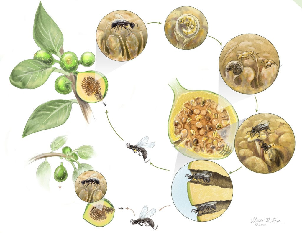 Many of nature's symbiotic relationships have cheaters who try to gain the benefits of the system without reciprocating. In the case of the fig wasp, some try to lay their eggs without pollinating the fig seeds. In this case, the fig tree will often prematurely drop the fig to 'punish' the cheater wasp.