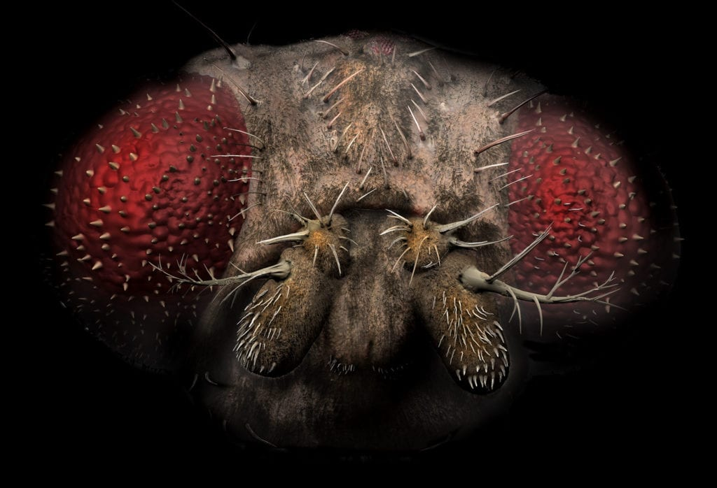The fruit fly, or Drosophila melanogaster, as become one of the most ubiquitous research subjects, and is central to many genetic studies and discoveries.