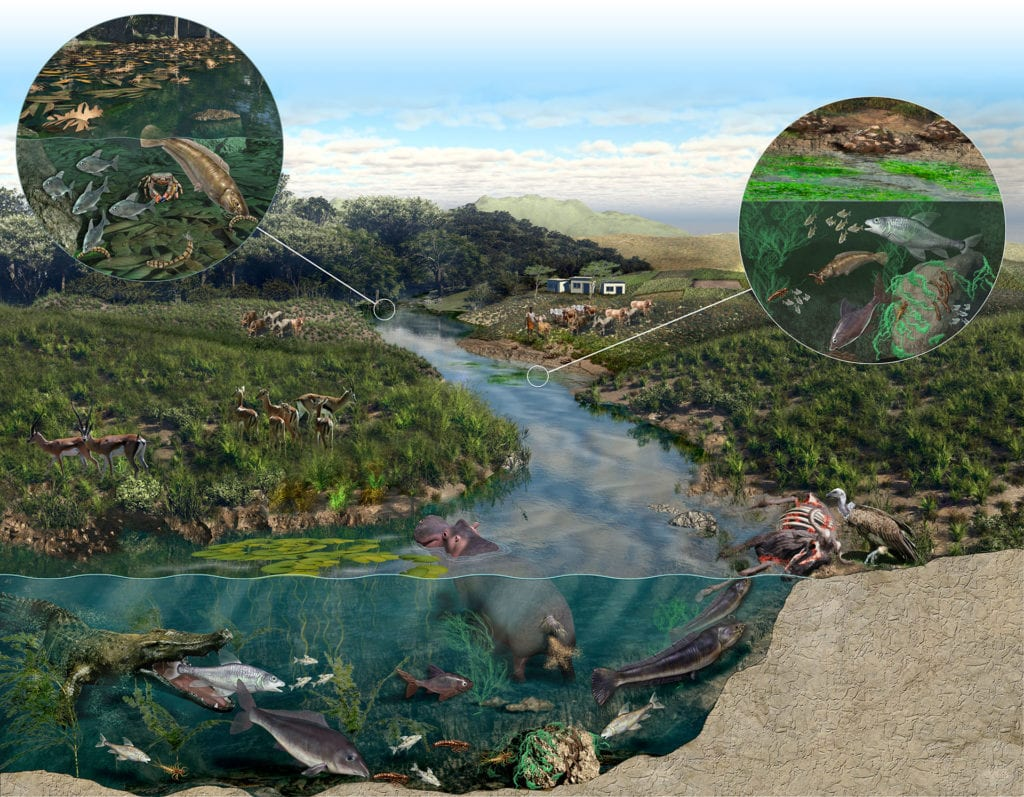This illustration shows three interconnected food webs of the Mara River Basin in Kenya. In the background (upper left) is the forest habitat where much of the ecosystem input comes from fallen leaves. The center portion focuses on human impacts, like grazing, farming and settlement, causing algae blooms. The final downstream portion is the iconic Masai Mara where the diverse plants and animals are impacted by what happens upstream. This piece was commissioned by UNESCO's MaraFlow research project Dr. Masese of Dr. McClain's group.