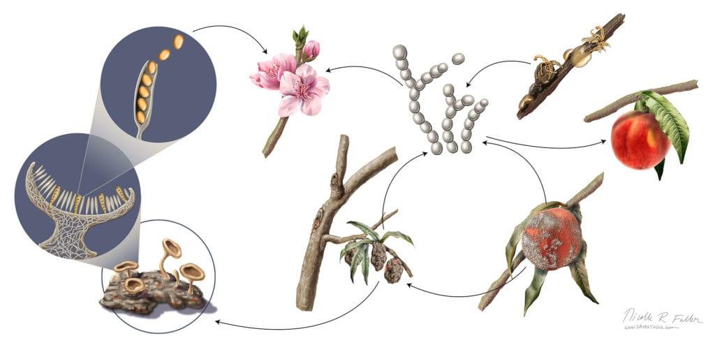 Peach Fungus Life-Cycle. Created for Science News Magazine