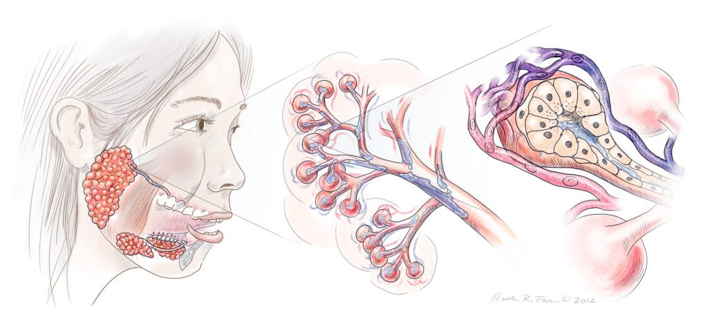 Salivary Gland Anatomy, this pencil drawing infographic shows the salivary glands at different magnification levels.