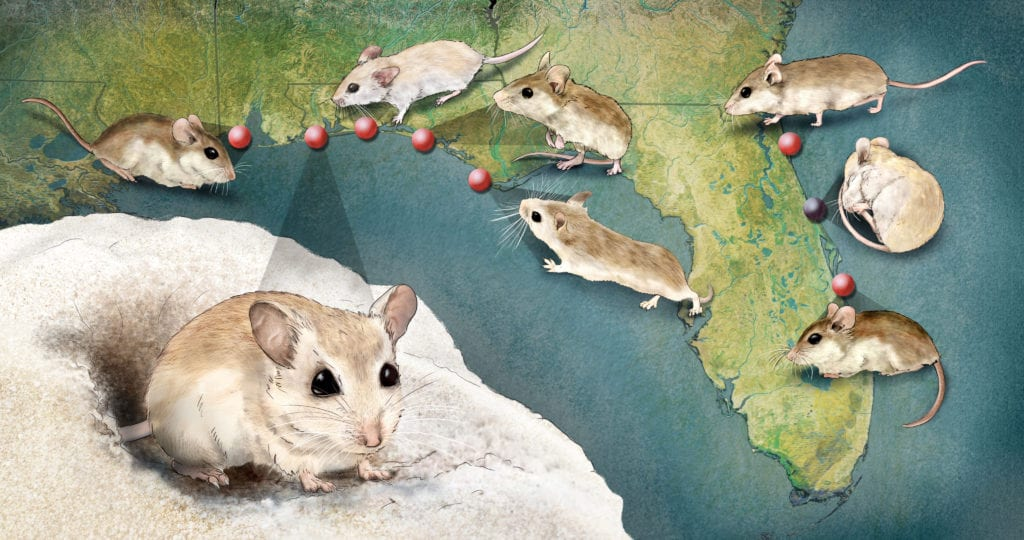 Perdido Mouse evolution and diversity, science illustration by Nicolle R Fuller