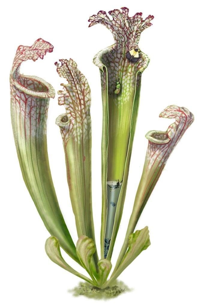pitcher plant botany illustration