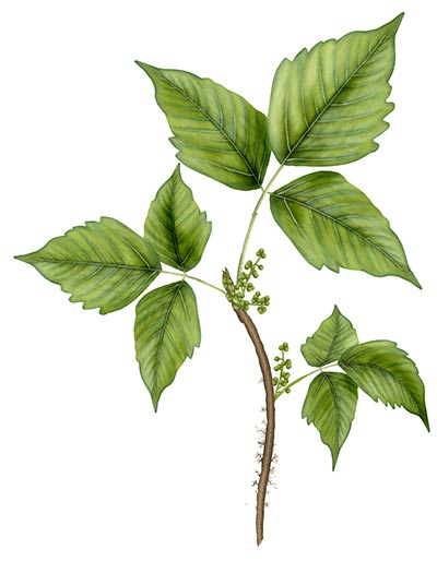 poison ivy plant drawing