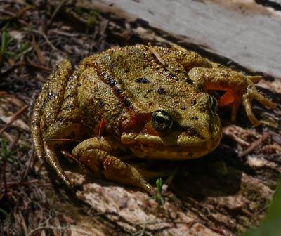 cascades frog photo