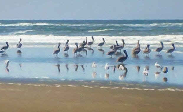 southwest washington beach pelicans painting