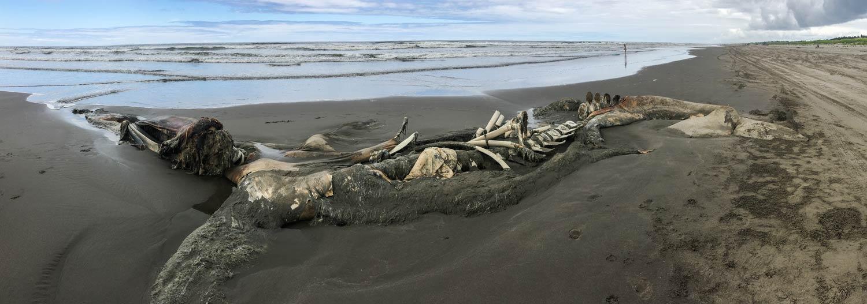 beached dead whale WA