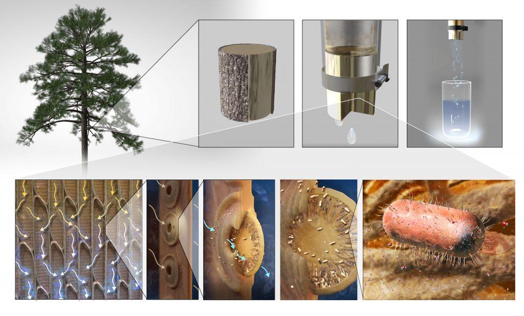 pine xylem bodered pit water filter illustration, Nicolle R Fuller SayoStudio