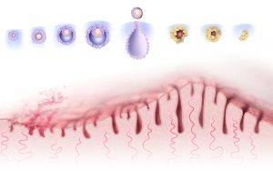 Menstrual cycle illustrated diagram by SayoStudio's Nicolle R Fuller